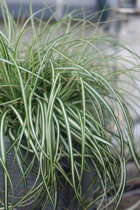 PLANTARIUM 2016 / fotogalerie / Carex oshimensis 'Everlite' (EverColor)