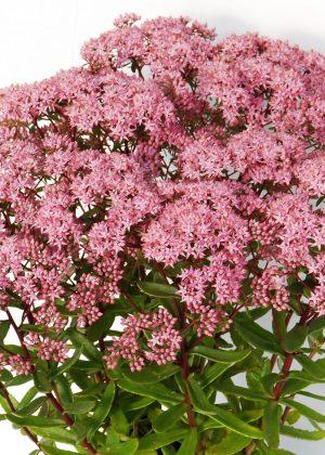 PLANTARIUM 2016 / fotogalerie / Sedum hybridum 'Jade Tuffet' (Sunsparkler)